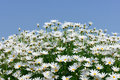 Free White Marguerite Stock Images - 31038134