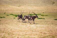 Free Herd Of Desert Kings Stock Photography - 31030132