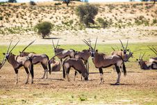 Free Herd Of Gemsbok Royalty Free Stock Photos - 31030458