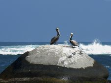 Free Pelicans Posing In The Rocks Royalty Free Stock Photo - 31031775
