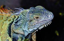 Iguana Lizard Stock Photography