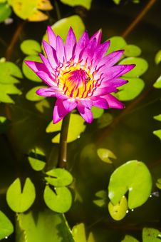 Free Pink Lotus Flower Stock Image - 31032911