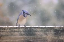 Free Blue Jay In The Snow Royalty Free Stock Image - 31033756