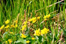 Free Buttercup Flowers Royalty Free Stock Images - 31034319