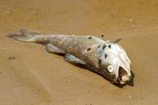 Free Dead Fish Stock Images - 31034354