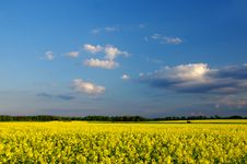 Free Field Of Rape. Stock Images - 31035154