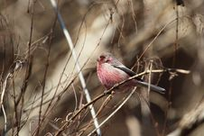 Free Long-tailed Rosefinch Royalty Free Stock Photo - 31035215