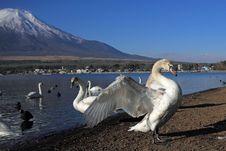 Free Mt Fuji And Swan Royalty Free Stock Photos - 31035238