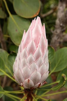 Free King Protea Flower Royalty Free Stock Image - 31036556