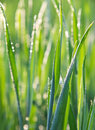 Free Green Grass Close-up Royalty Free Stock Photography - 31045357