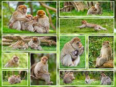 Macaque Monkey Collage Royalty Free Stock Photos