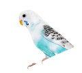 Free Wavy Parrot Stock Photography - 31055552
