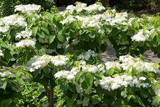 Free Jasmine Blossoms Royalty Free Stock Photos - 31050898