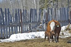 Free Newborn Calf Bonding With His Mother Stock Image - 31051461