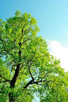 Free Crown Of An Oak In May, Covered With First Leaves Royalty Free Stock Photo - 31053615