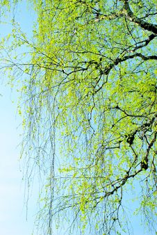 Free Spring Branches Covered With First Leaves Royalty Free Stock Photo - 31053645