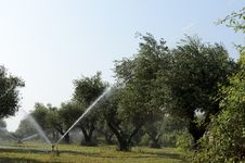 Free Irrigation Of Olive Stock Photos - 31054123