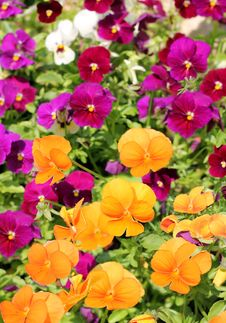 Different Colored Flowers Of Pansy Royalty Free Stock Photo