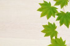 Free Japanese Maple Leaves Royalty Free Stock Photography - 31057477