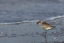 Free Grey Plover Stock Images - 31057794