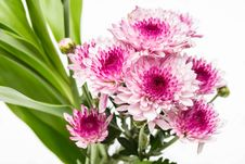 Free Pink Flowers Royalty Free Stock Photos - 31058728