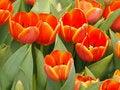 Free Bloom Orange Tulip Stock Photos - 31064463
