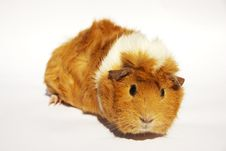 Free Guinea Pig_03 Stock Photos - 31060323