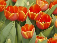 Free Bloom Orange Tulip Stock Photos - 31064463