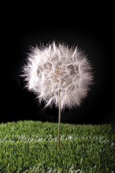 Free Dandelion In The Grass Royalty Free Stock Photography - 31064867