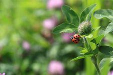 Free Ladybug Royalty Free Stock Image - 31069496