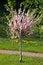 Free Sakura Tree Stock Image - 31068661