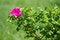 Free Wild Rose Stock Images - 31068664