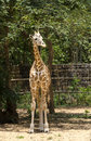 Free A Giraffe Royalty Free Stock Photos - 31073538