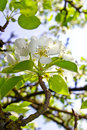 Free The Blossoming Branches Of Trees In The Forest Royalty Free Stock Image - 31076976