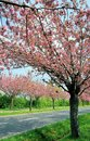 Free Flowering Cherry Trees Along A Road Stock Image - 31079411