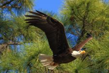 Free Eagle In Flight Stock Photos - 31070153