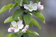 Free Flowers Of An Apple Tree . Royalty Free Stock Photo - 31070175