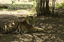 Free Tiger Restins In Shade Royalty Free Stock Images - 31073489