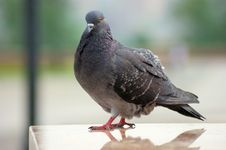 Free Pigeon Stock Photos - 31074173