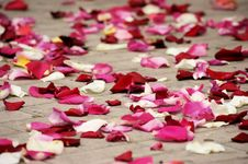 Free Rose Petals Royalty Free Stock Photos - 31074398