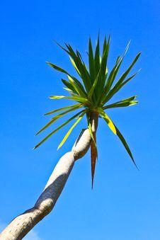 Free Dracaena Tree Royalty Free Stock Images - 31075029