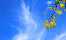 Free Cassia Fistula In Clear Blue Sky Stock Images - 31075414