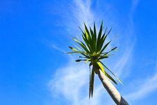 Free Dracaena Tree Royalty Free Stock Images - 31075489
