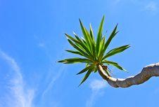 Free Dracaena Tree Royalty Free Stock Photos - 31075718