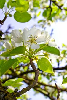 The Blossoming Branches Of Trees In The Forest Royalty Free Stock Image