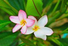 Free Frangipani Flowers Stock Images - 31078194