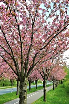 Free Flowering Cherry Trees Along A Road Stock Photography - 31079272