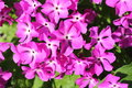 Free Bright Pink Flowers Of A Primrose &x28;background&x29; Royalty Free Stock Photos - 31085678