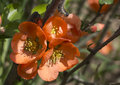 Free Japanese Quince . Royalty Free Stock Images - 31086889