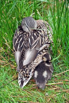 Free Mother Duck And Baby Stock Images - 31082694